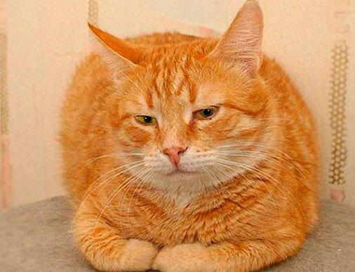 липидоз у кошек