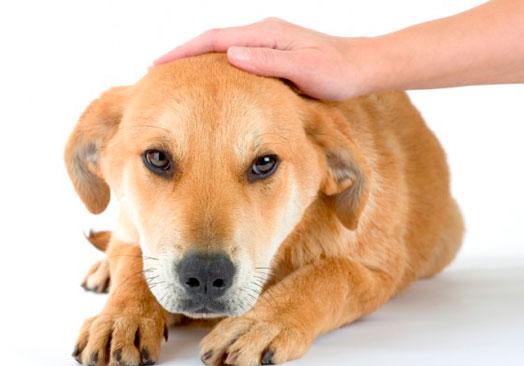 пневмония у собак симптомы