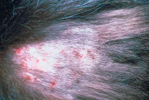 дерматит у собак фото