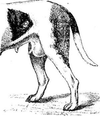 рак молочных желез у собак
